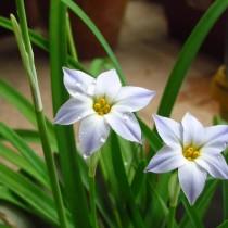 Ифейон одноцветковый 'Wisley Blue'