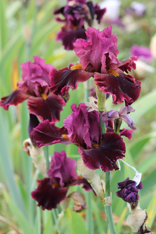 Iris-Obsessed-2