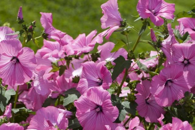 Лаватера трехмесячная, или Хатьма трёхмесячная (Lavatera trimestris)