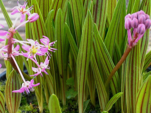 Ледебурия Купера (Ledebouria cooperi)