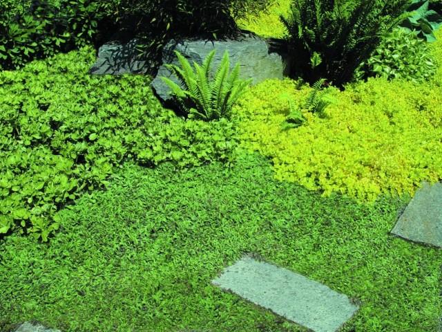 Лептинелла шероховатая, или Котула (Leptinella squalida)