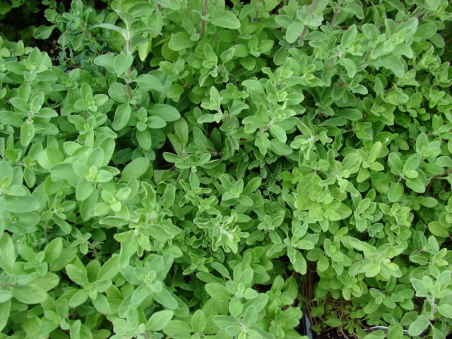 Майоран (Origanum majorana)