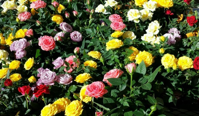 Миниатюрные розы