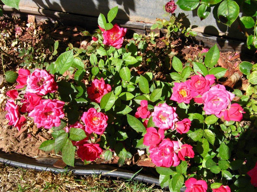 каких элементов сорта миниатюрных роз с фото и названиями вызовет улыбку лице