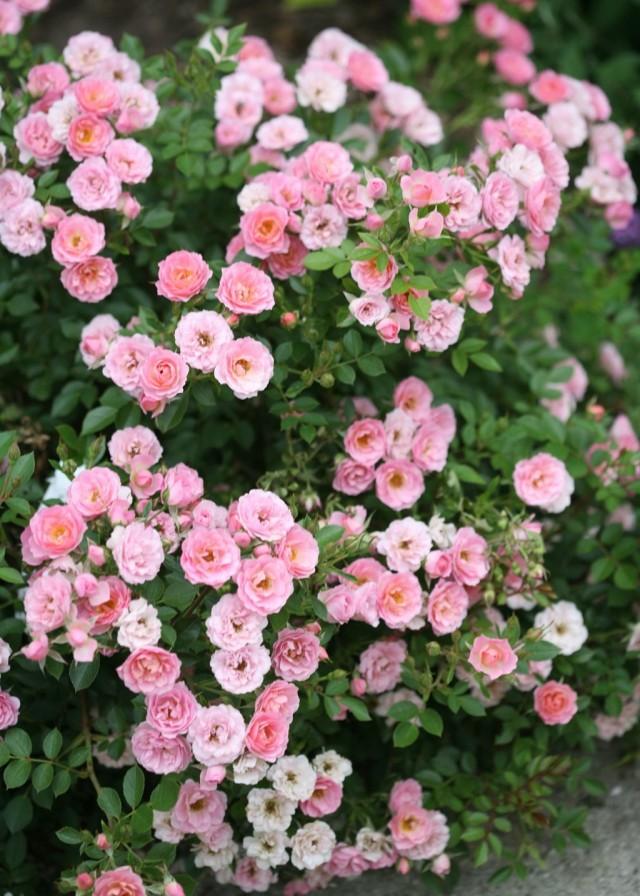 Миниатюрная роза 'Oso Easy® Petit Pink'