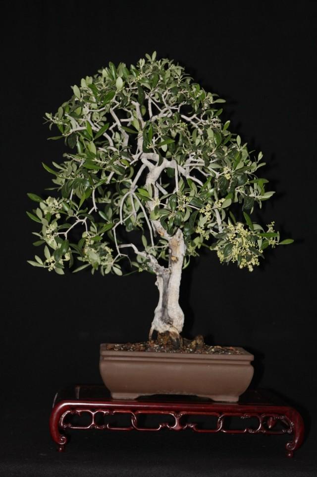 Бонсай из оливкового дерева