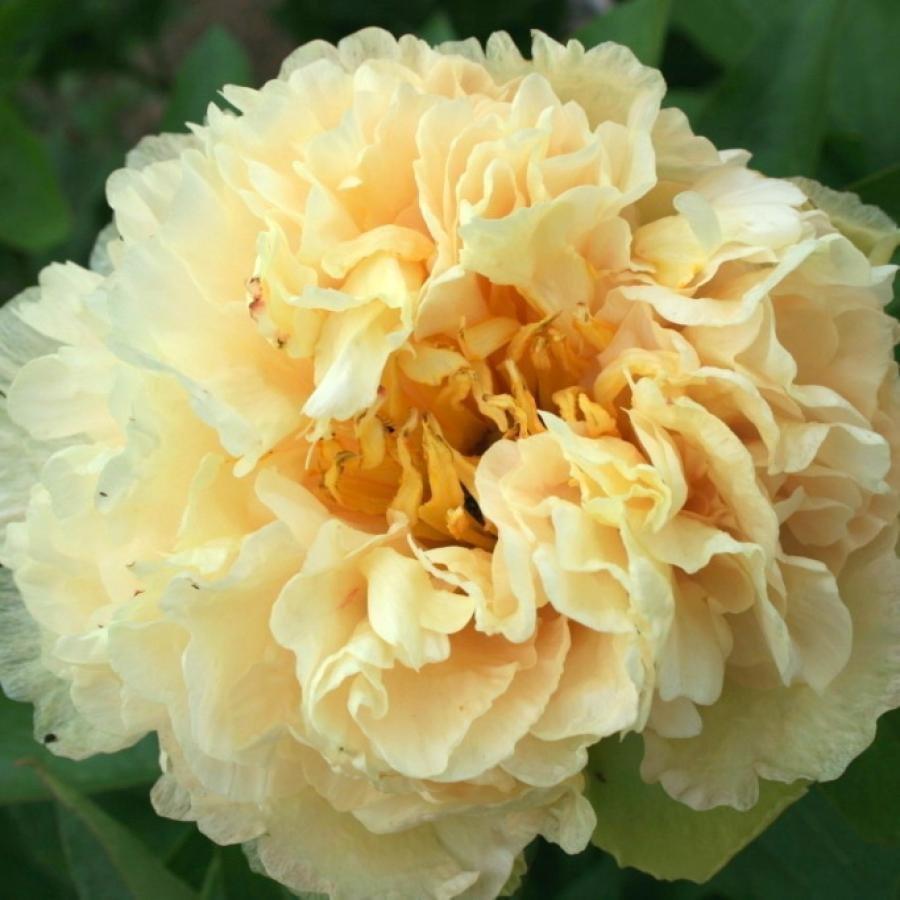 Paeonia-lactiflora-Sunny-Girl-1