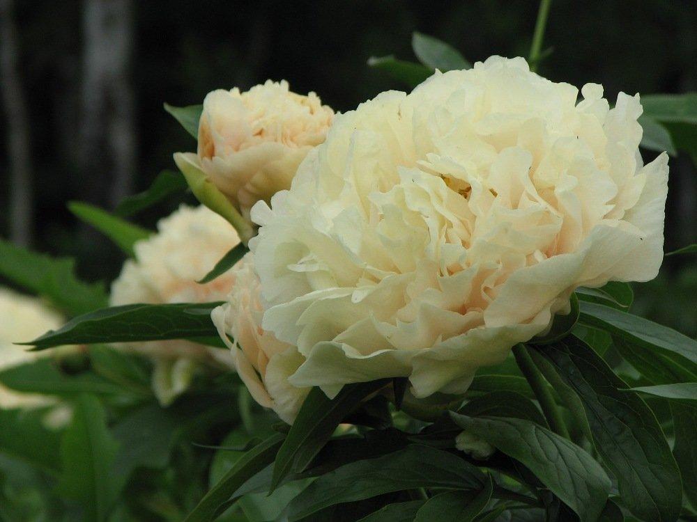 Paeonia-lactiflora-Sunny-Girl-2