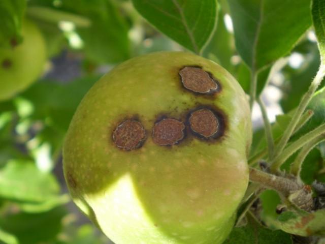 Характерные чёрные пятна на яблоке, пораженном паршой