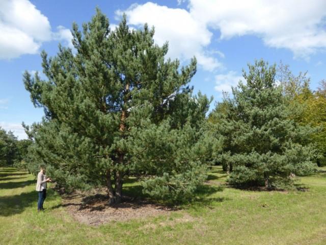 Сосна обыкновенная (Pinus sylvestris)