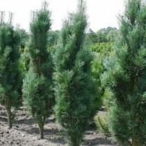Сосна обыкновенная «Фастигата» (Pinus sylvestris 'Fastigiata')