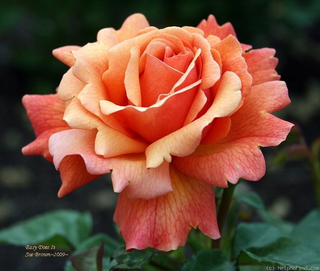 Rose-Easy-Does-It-1