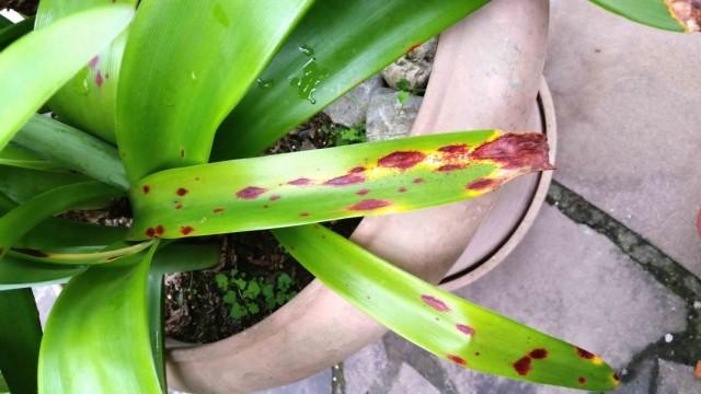 Стагоноспороз, или Красный ожог, или Красная гниль на листьях Амариллиса