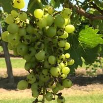 Антракноз на винограде