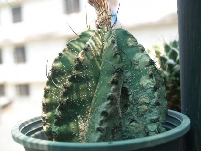 Антракноз на кактусе