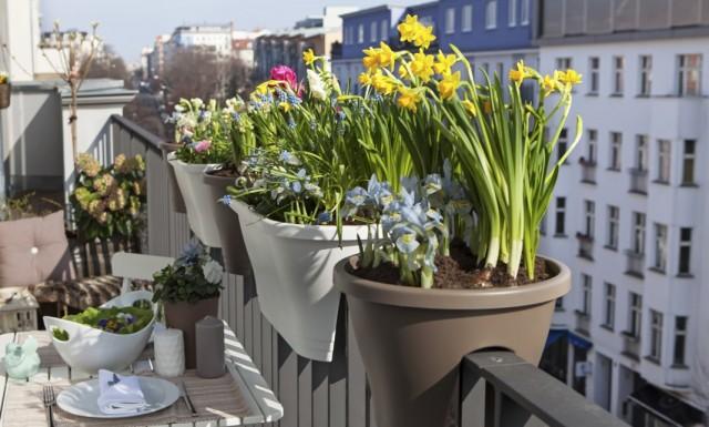 Выращивание нарциссов в кашпо на балконе
