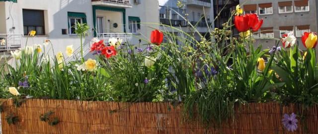 Выращивание весенних луковичных на лоджии и балконе