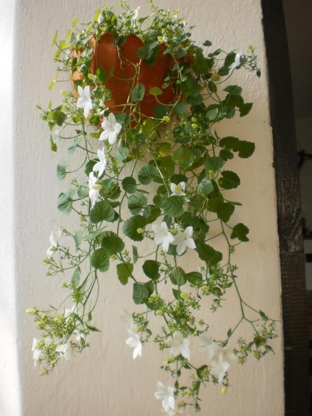 Колокольчик равнолистный (Campanula isophylla)