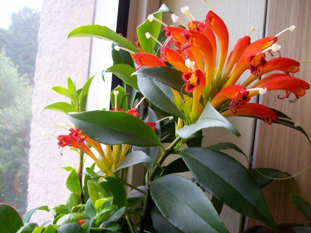 каждому каналу цветок колумнея фото свойства позволяют активно