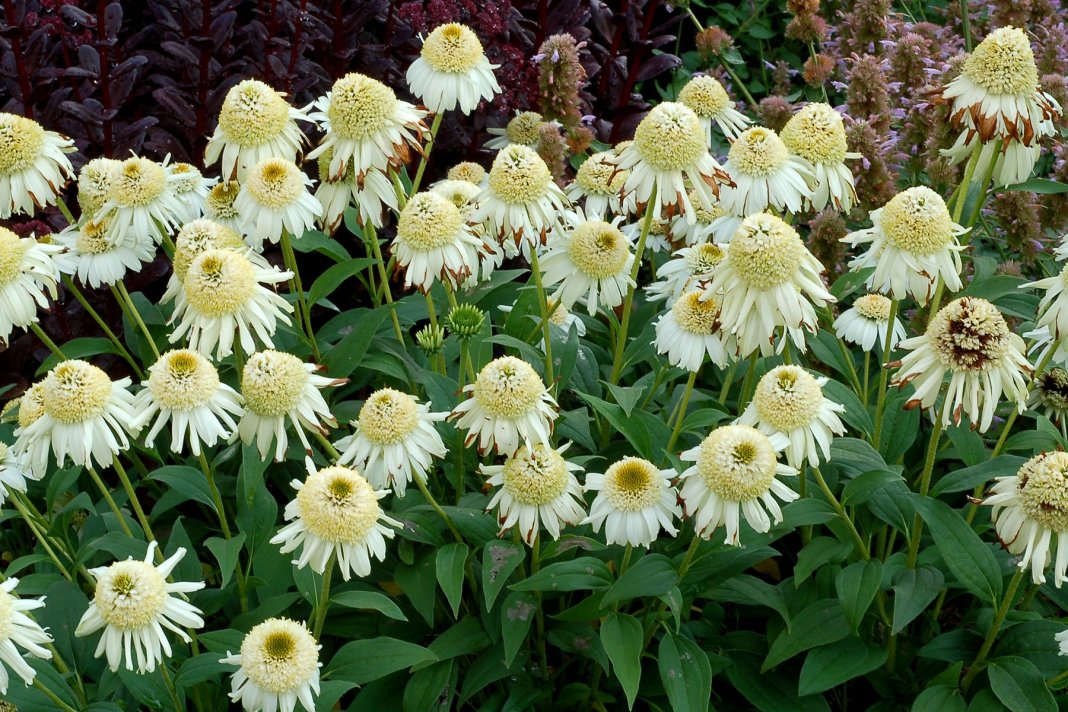 Echinacea-Vanilla-Cupcake-3
