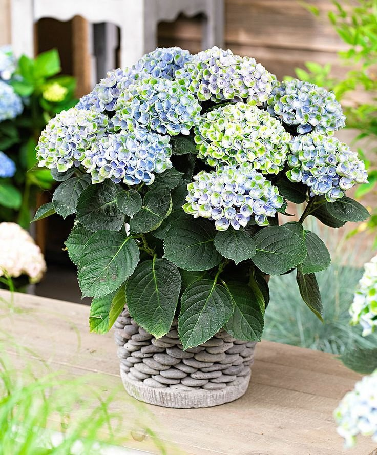 Hydrangea-macrophylla-Magical-Revolution-Blue-1