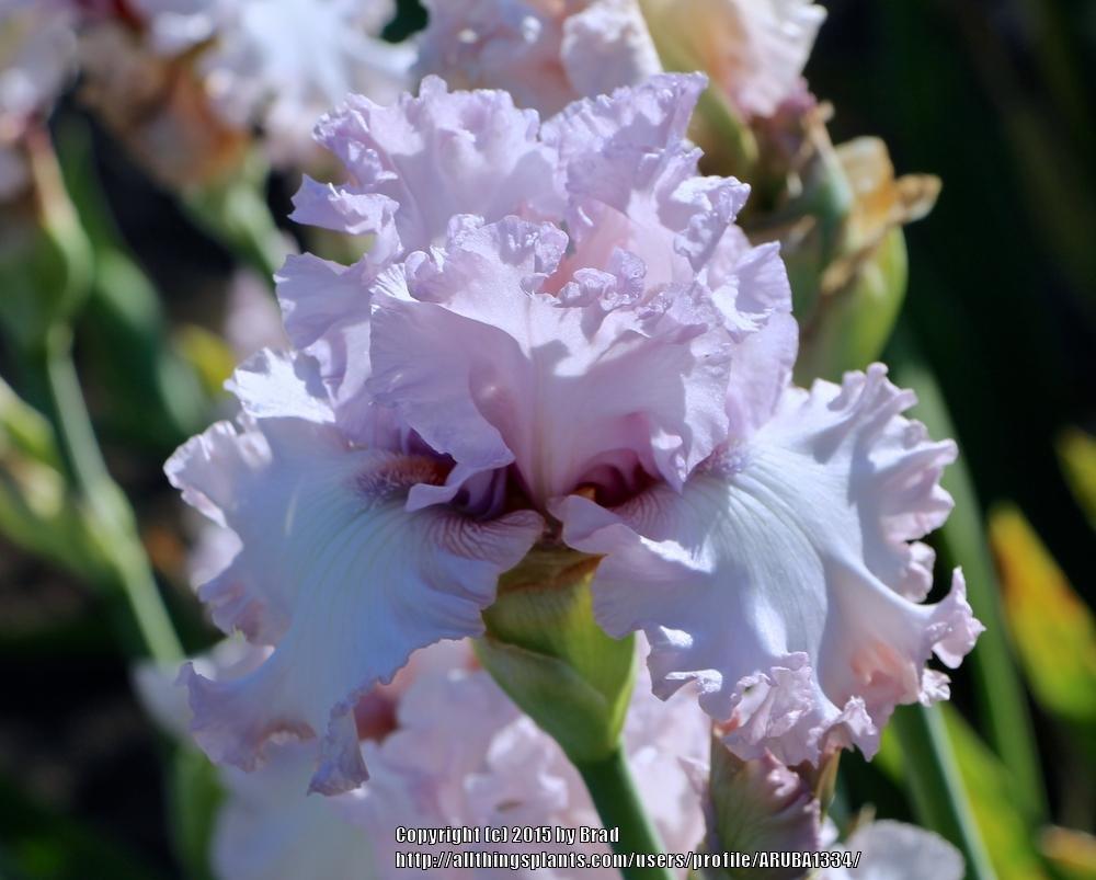 Iris-Poem-of-Love-1
