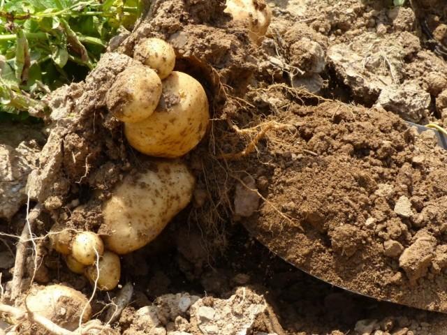 Выкопка урожая картофеля