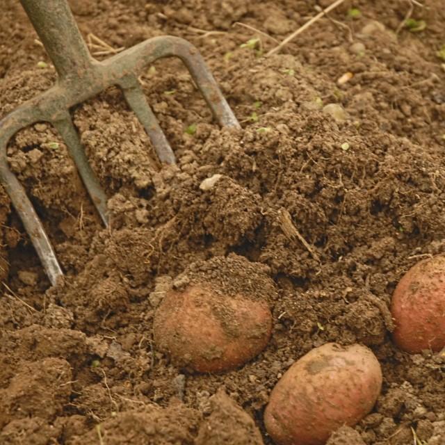 Выкопка картофеля вилами