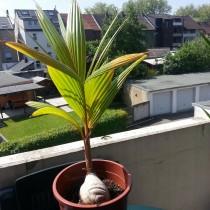 Пророщенный кокосовый орех раскрывший первые листья
