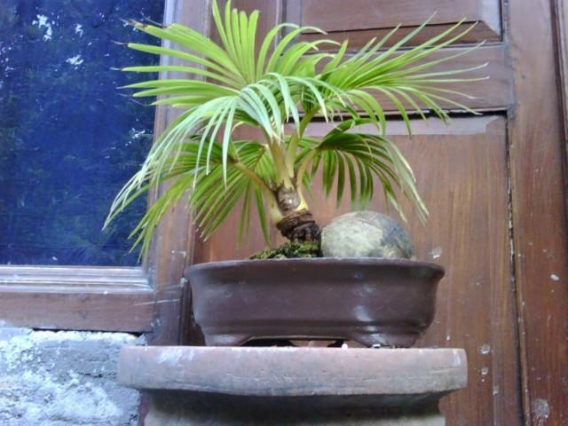 Выращивание кокосовой пальмы в домашних условиях в виде бонсай