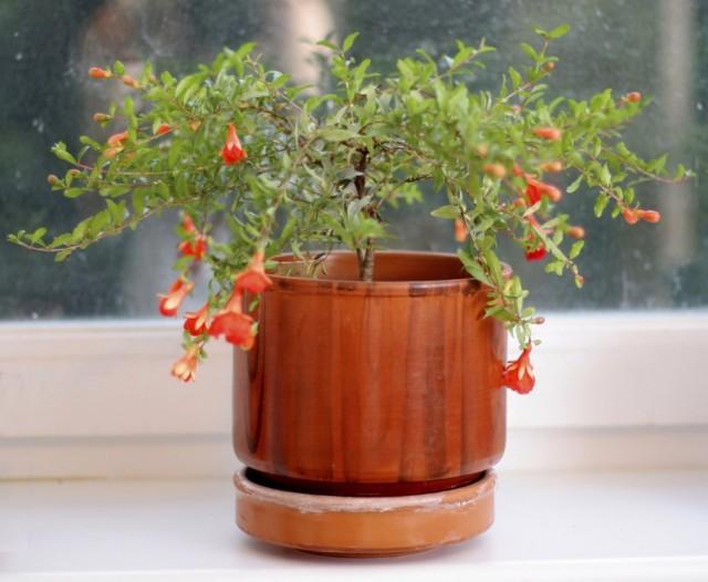 Гранат обыкновенный (Punica granatum) в горшке