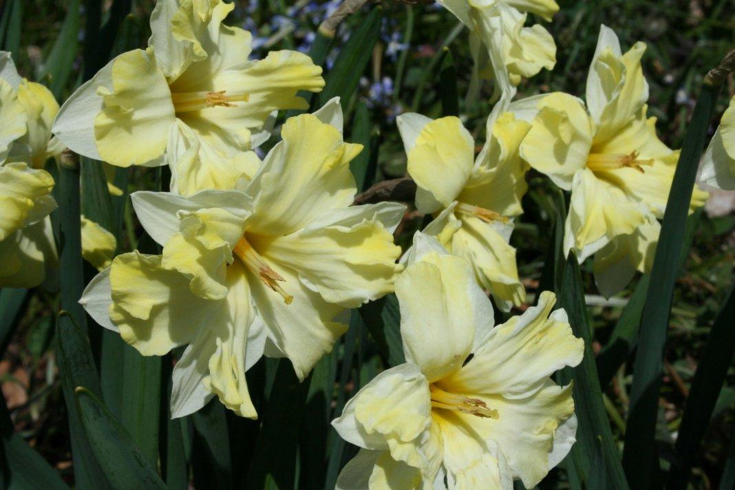 Narcissus-Cassata-2