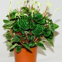 Пеперомия сморщенная (Peperomia caperata)