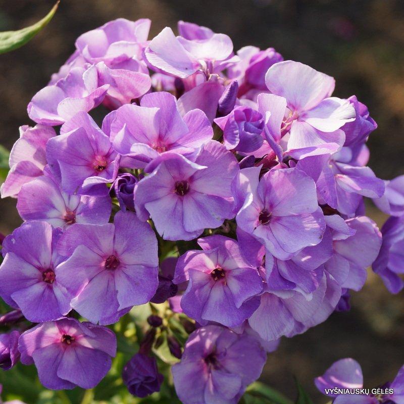 Phlox-paniculata-Jeffs-Blue-1