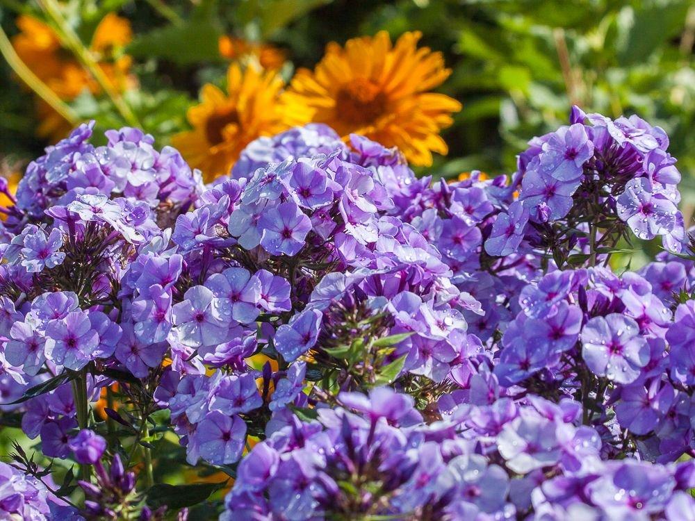 Phlox-paniculata-Jeffs-Blue-2