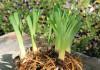 Разделение корней лилейника