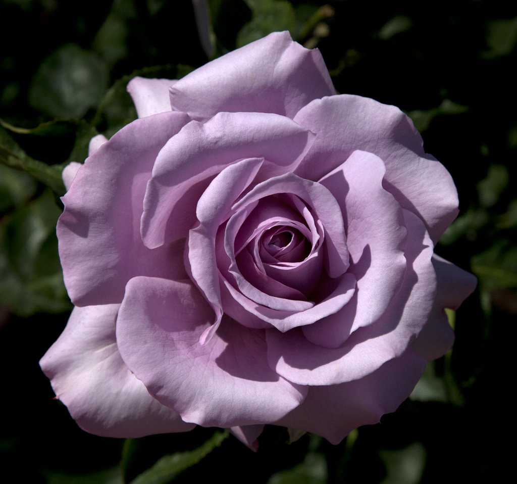 Rose-Love-Song-1