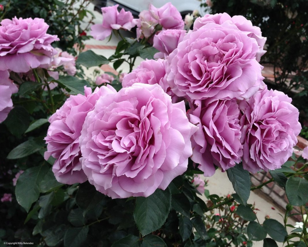 Rose-Love-Song-2