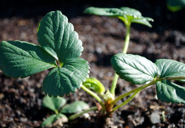 Рыхление почвы и окучивание кустов клубники