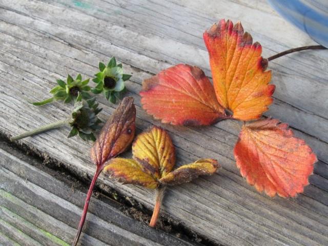 Очистка кустов клубники от старых листьев