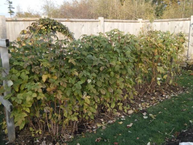 Кусты малины осенью