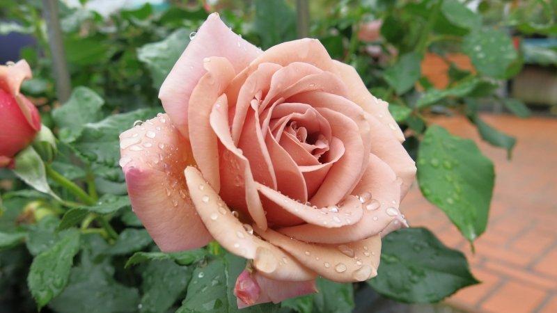 rose-Soul-Sister-1