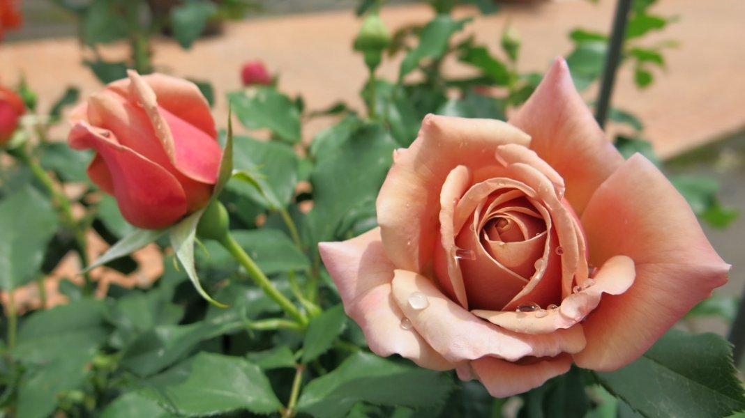 rose-Soul-Sister-2