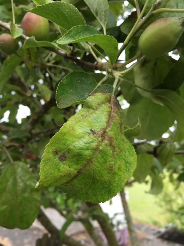 Скручивание листьев яблони
