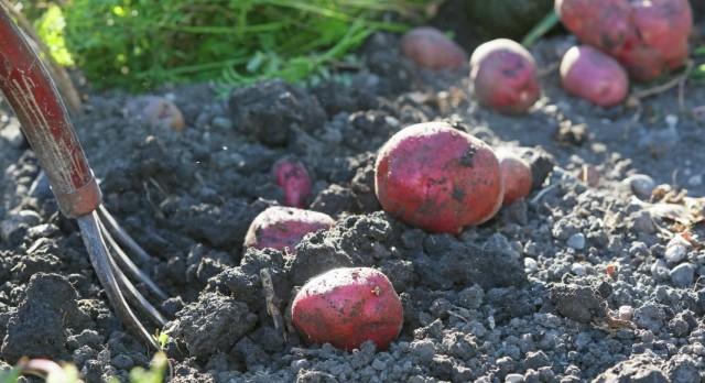 Выкопка клубней и отбор семенного картофеля