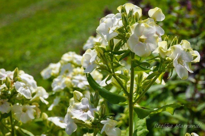 Phlox-paniculata-Jade-1