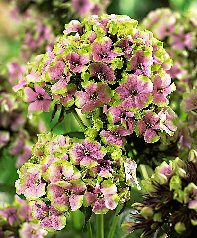 Phlox-paniculata-Sherbet-Blend-1