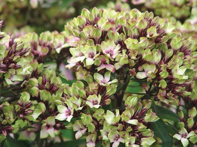 Phlox-paniculata-Sherbet-Blend-2