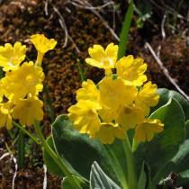 Примула ушковая (Primula auricula)