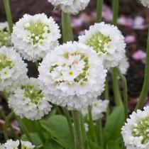 Примула мелкозубчатая (Primula denticulata)